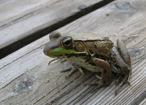 A frog at Dave's cottage.