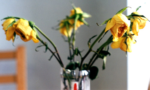 Yellow roses in the kitchen of my apartment in UW place.